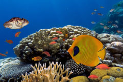 Coral and fish in the Red Sea.Egypt. Egypt Royalty Free Stock Photos