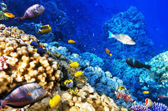 Coral and fish in the Red Sea. Egypt, Africa. Stock Image