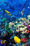Coral and fish in the Red Sea. Egypt, Africa. Stock Images