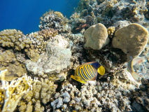 Coral and fish in the Red Sea. Egypt. Coral and fish in the Red Sea. In front butterfly fish, in background coral garden and sea with other coral fish. Safaga Stock Photos