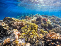 Coral and fish in the Red Sea. Egypt. Coral and fish in the Red Sea. In front is Klunzinger's Wrasse (Thalassoma rueppellii)Also known as Lunate-tailed Wrasses Royalty Free Stock Photos