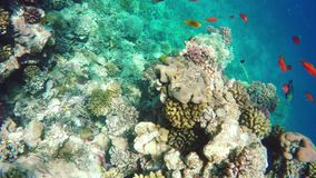 Coral and fish in the Red Sea. Egypt. Coral and fish in the Red Sea. In front is Klunzinger's Wrasse (Thalassoma rueppellii)Also known as Lunate-tailed Wrasses stock video