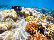 Coral and fish in the Red Sea. Egypt. Coral and fish in the Red Sea. In front stripped butterfly fish, in background coral garden and sea with other coral fish Stock Photos