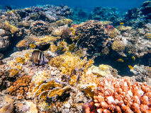 Coral and fish in the Red Sea. Egypt. Coral and fish in the Red Sea. In front stripped butterfly fish, in background coral garden and sea with other coral fish Stock Photography