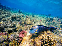 Coral and fish in the Red Sea. Egypt Royalty Free Stock Image