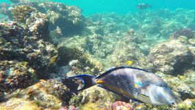 Coral and fish in the Red Sea. Egypt. Coral and fish in the Red Sea. In front is Red Sea surgeonfish, in background coral garden with other coral fish. Safaga stock footage