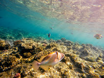 Coral and fish in the Red Sea. Egypt. Coral and fish in the Red Sea. In front Triggerfish, in background coral garden and sea with other coral fish. Safaga Stock Photography