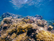 Coral and fish in the Red Sea. Egypt. Coral and fish in the Red Sea coral garden and blue sea with other coral fish. Safaga, Egypt Stock Image