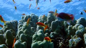 Coral and fish in the Red Sea, Egypt. HD stock video footage