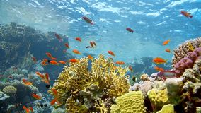Coral and fish in the Red Sea, Egypt. HD stock video