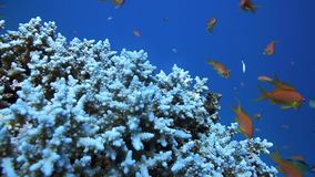 Coral and fish in the Red Sea, Egypt. HD stock footage