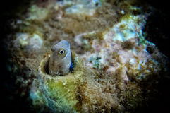 Coral fish of the Red Sea - Lance Blenny Aspidontus dussumieri. Blennies are fishes belonging to the family Blennidae. They are are small length 3-4cm a solitary Royalty Free Stock Photos