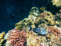 Coral and fish in the Red Sea. Safaga, Egypt Royalty Free Stock Image