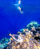 Coral and fish in the Red Sea. Safaga, Egypt. Coral and fish in the Red Sea. In front is Red Sea surgeonfish, in background snorkeling boy and blue sea with Stock Images