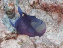 Coral fish Redtooth triggerfish Royalty Free Stock Photos