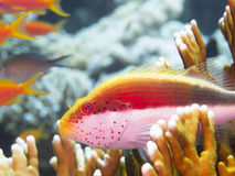 Coral fish Royalty Free Stock Image
