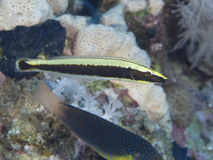 Coral fish Ringed wrasse. Ringed wrasse in red sea royalty free stock photos