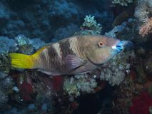 Coral fish Rusty parrotfish Royalty Free Stock Photography