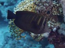 Coral fish Sailfin tang Stock Image