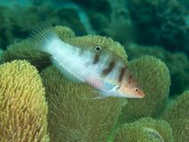 Coral fish Schroeder's Rainbow-wrasse Stock Images