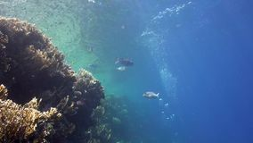 Coral fish in shallow water with diver`s bubbles in Red sea. Egypt stock video