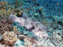 Coral fish Starry paffer Stock Photography