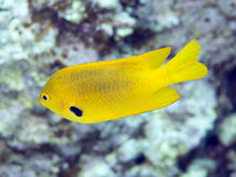Coral fish Sulfur damse Royalty Free Stock Photos