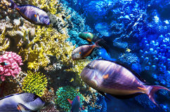 Coral and Fish-surgeon  in the Red Sea. Egypt, Africa . Royalty Free Stock Images