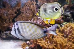 Coral fish swimming in London royalty free stock photos