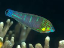 Coral fish Tail-spot wrasse. In molucca sea Stock Photo