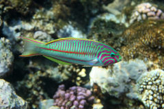 Coral fish Thalassoma Stock Photos