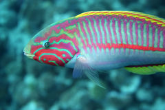 Coral fish Thalassoma Klunzingeri Stock Photos