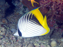 Coral fish Threadfin butterflyfish Royalty Free Stock Photography