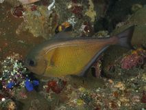 Coral fish Vanikoro sweeper Stock Photography