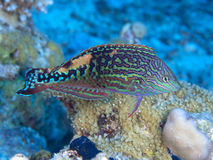 Coral fish Vermiculate wrasse Royalty Free Stock Images