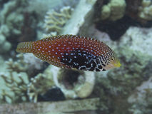 Coral fish Vermiculate wrasse Stock Image