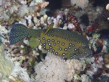 Coral fish Yellow Boxfish Stock Image