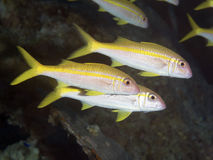 Coral fish Yellowfin goatfish Stock Image