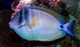 Coral fish - Zebrasoma Stock Photos