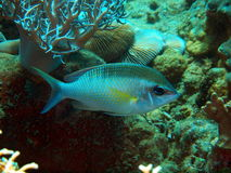Coral fishes Stock Photography