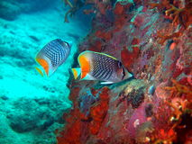 Coral fishes Stock Image