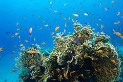 Coral and fishes Royalty Free Stock Images