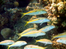 Coral fishes Royalty Free Stock Photography