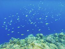 Coral fishes in blue water over coral reef wall. Coral reef underwater photo. Tropical sea shore snorkeling or diving. Undersea wildlife of coral reef and stock photography