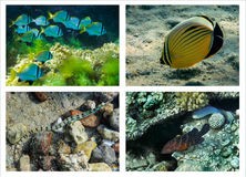 Coral fishes of the Red sea, collage Stock Photography