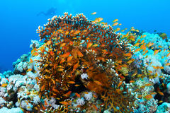 Coral and fishes Stock Image