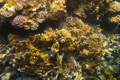 Coral fishes of Red sea. Egypt. Underwater world. Coral fishes of Red sea. Egypt Stock Photography
