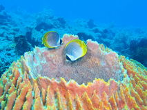 Coral fishes Stock Images