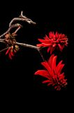 Coral flower (Erythrina) Stock Photos