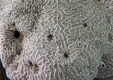 Coral fossil texture Stock Photography